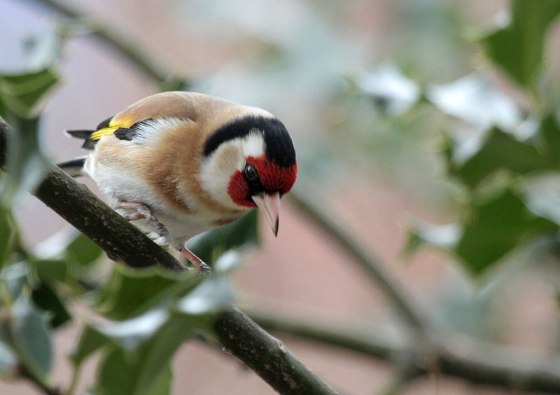 Distelfink / Goldfinch