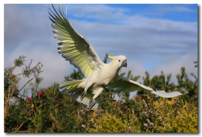 Sulphur Crested Cockatoo - Take off
