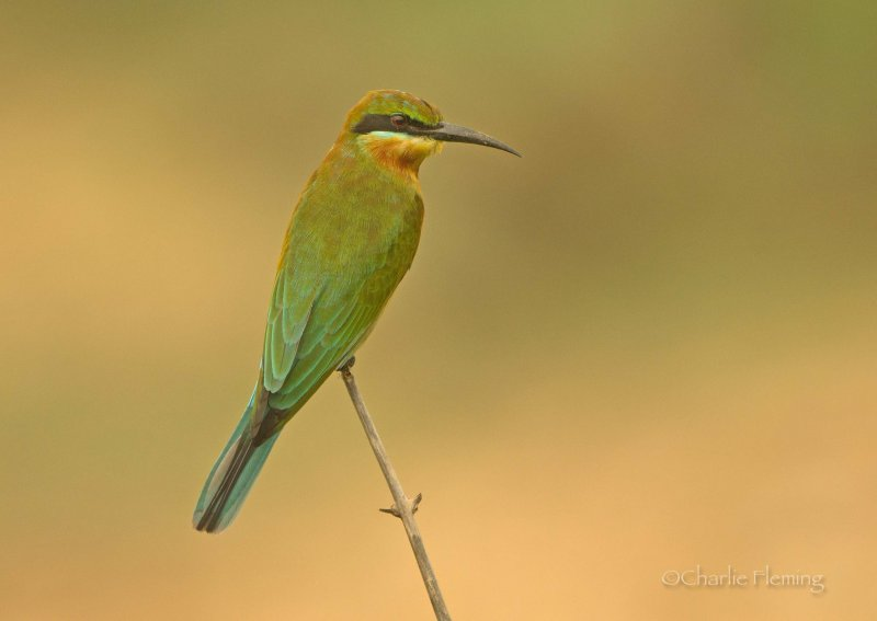 Blue-tailed Bee-eater - Merops philippinus