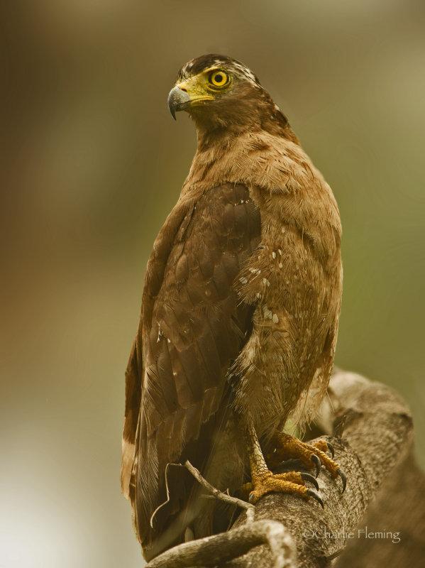 Crested Serpent Eagle - Spilornis cheela