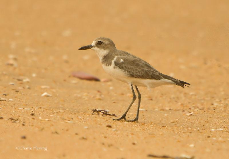 Lesser Sand Plover - Charadrius mongolus