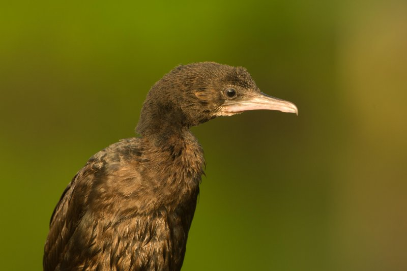 Microcarbo niger -  (Little Cormorant)