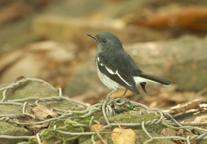 Oriental Magpie-Robin (Copsychus saularis ceylonensis)