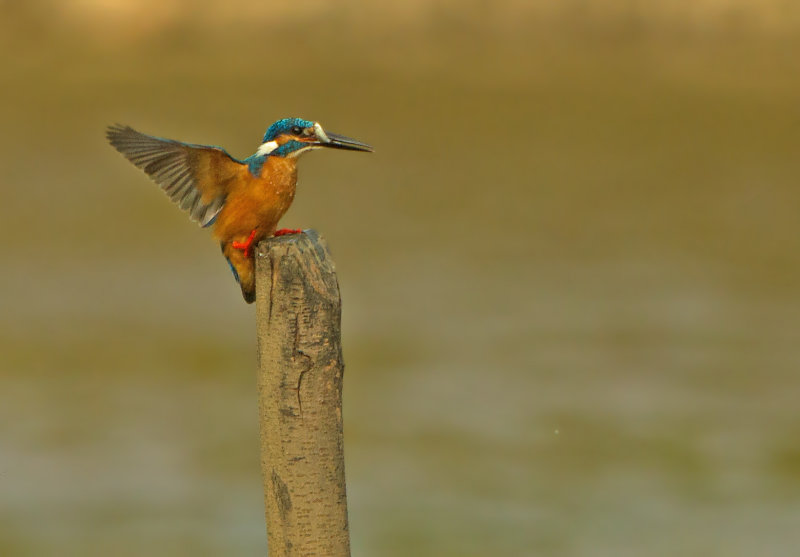 Alcedo athis bengalensis
