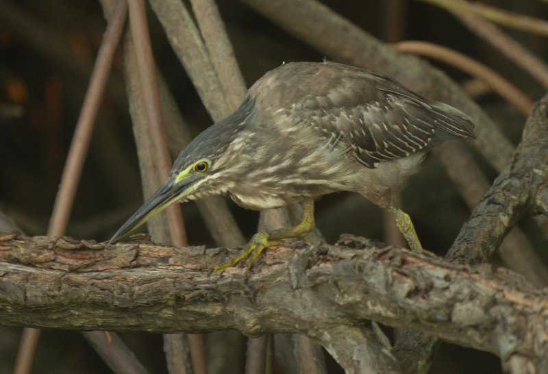 Striated Heron - Buteroides striates