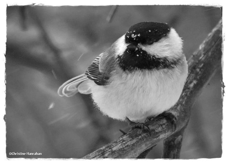 # 28: Black-capped chickadee