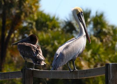 Pelicans on a pier.