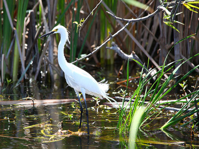 Snowy Egret - Sarno Extension