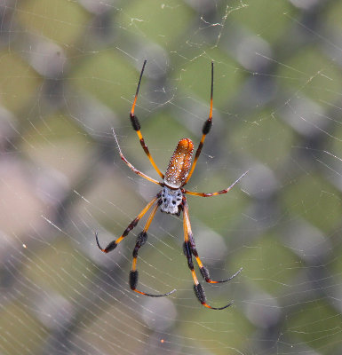 Golden silk orb-weaver (Banana Spider)