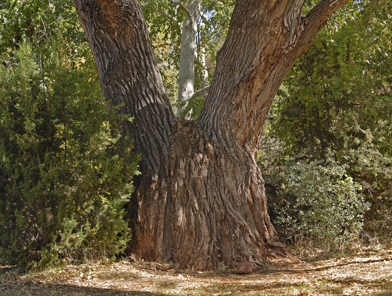Giant Fremont Cottonwood Tree Red Rock State Park