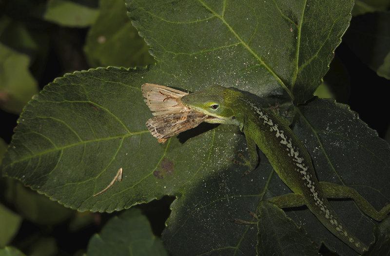 Green Anole Lizard with Moth Prey