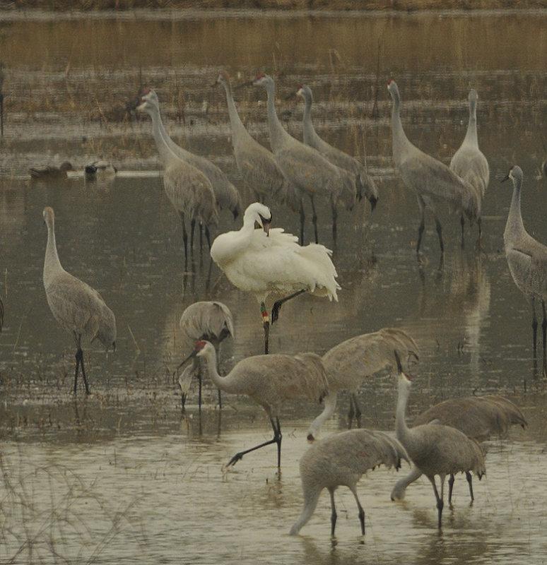 Whooping Crane Preening