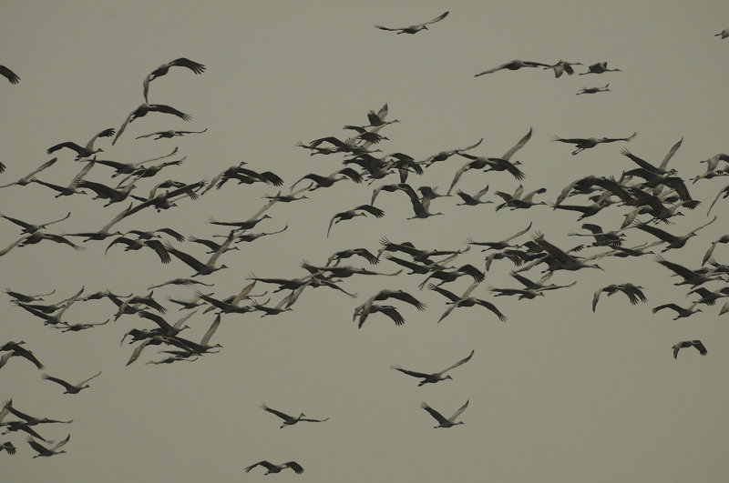 Sky Laden with Greater Sandhill Cranes