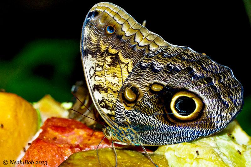 Owl Butterfly January 5
