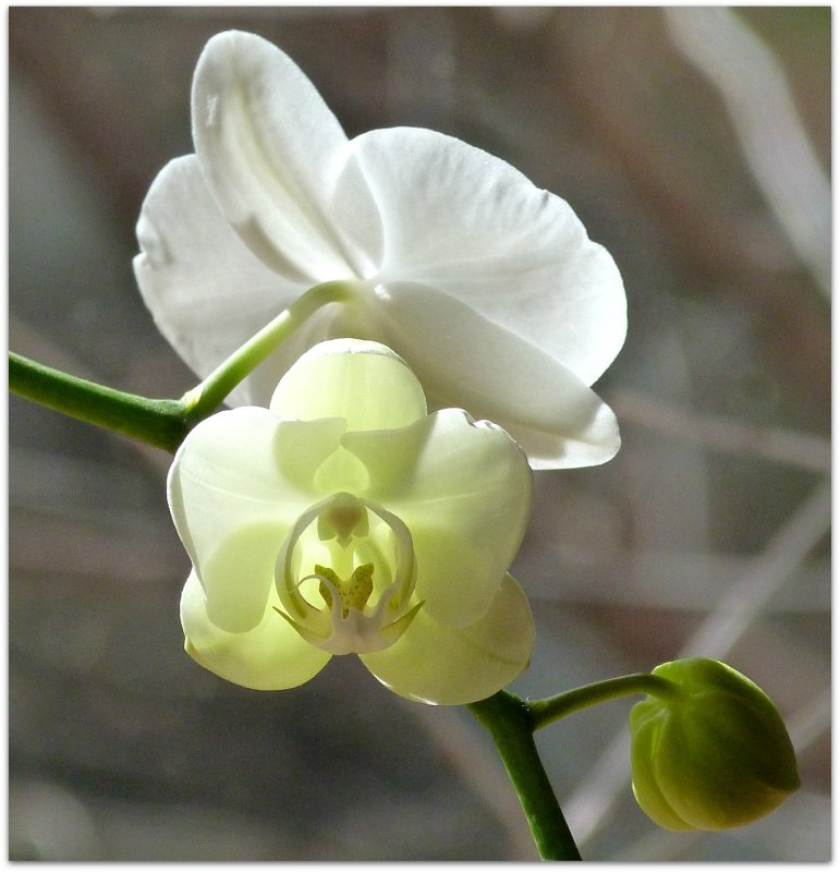 new blossom on the orchid