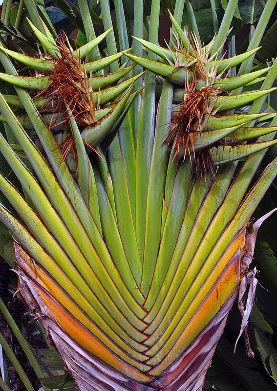Travelers-Palm