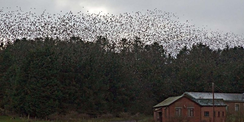 Starlings - how on earth do they all fit in there to roost?