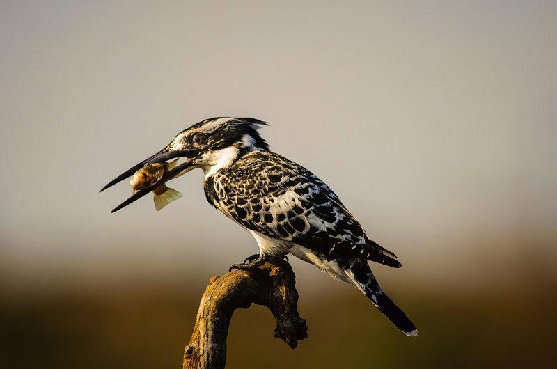 Kingfishers breakfast