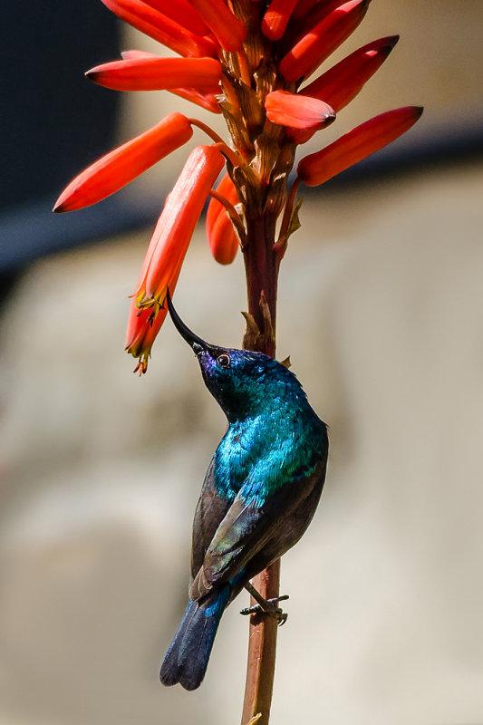Twisted neck sunbird...