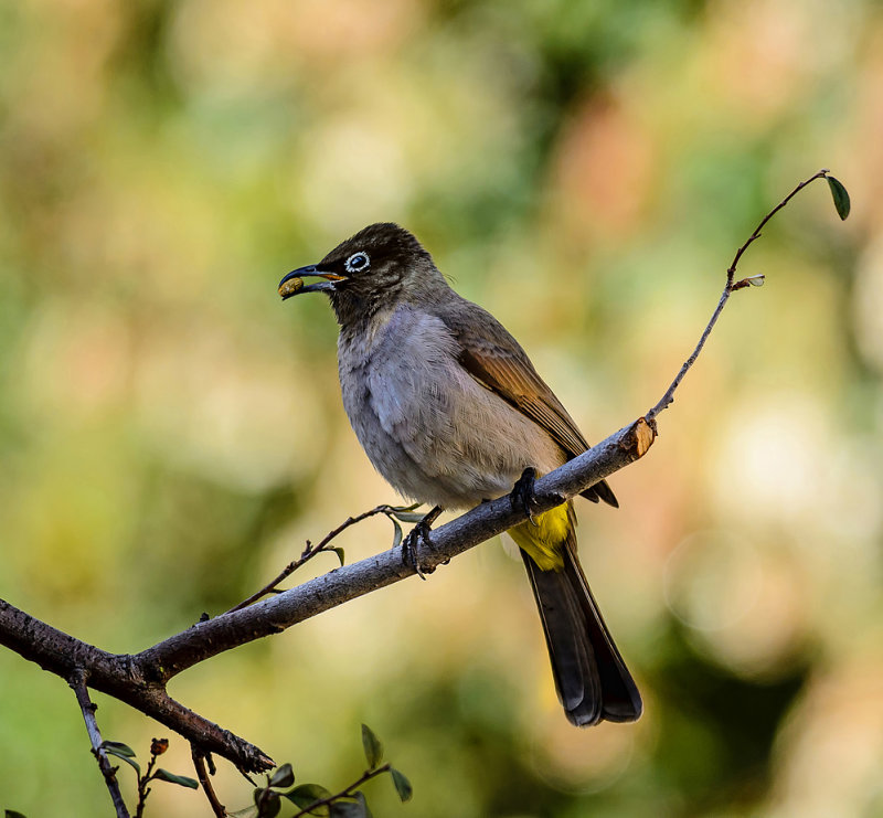 Spectacled Bulbul (Pycnonotus xanthopygos).