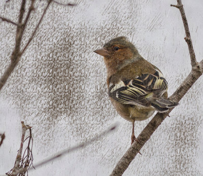 Chaffinch - a stormy day