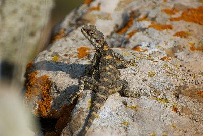 Lizard - Agama stellio