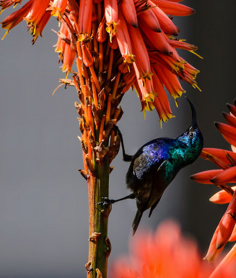 Sunbird in the dark