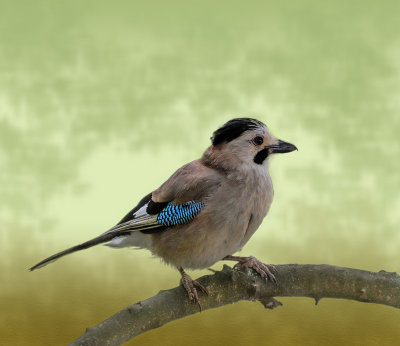 Another jay