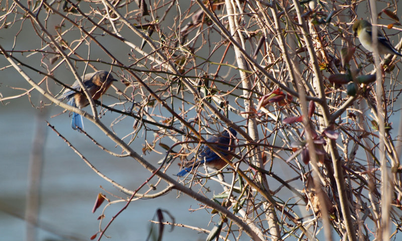 Bluebirds with a goldfinch