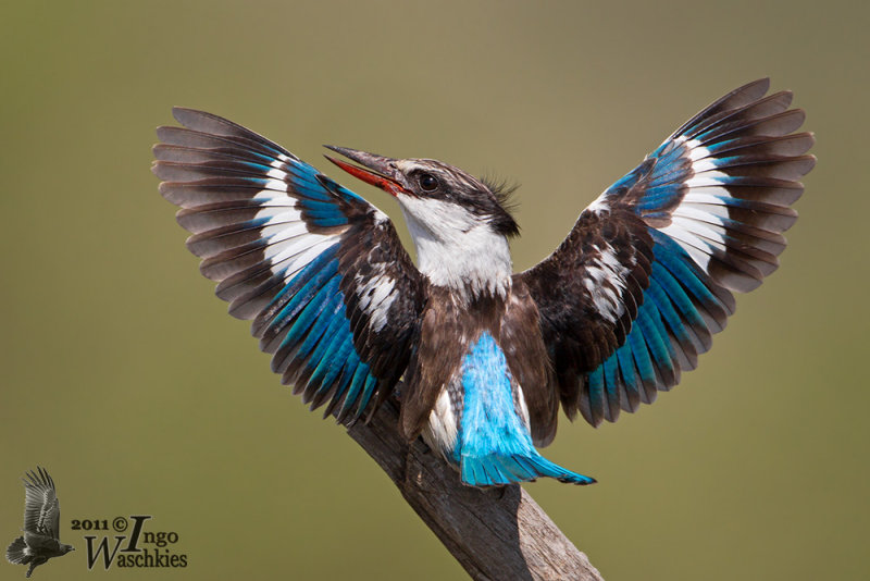 Adult male Striped Kingfisher