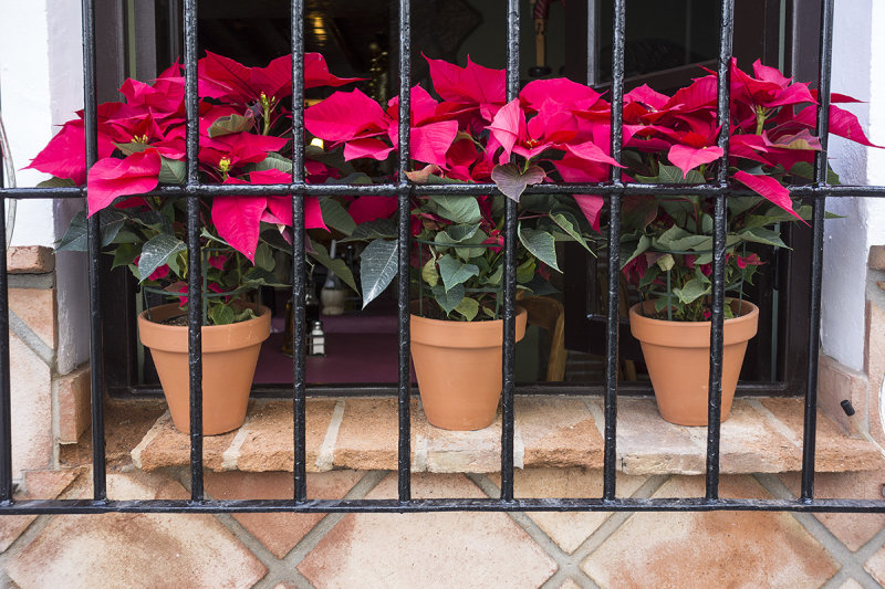 poinsettias safely behind bars