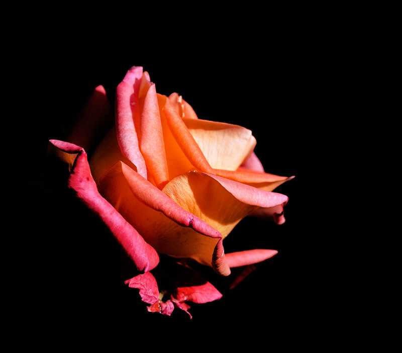 Milonga Rose ...