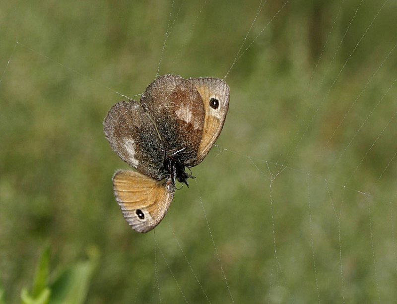 Kamgräsfjäril (Coenonympha pamphilus)