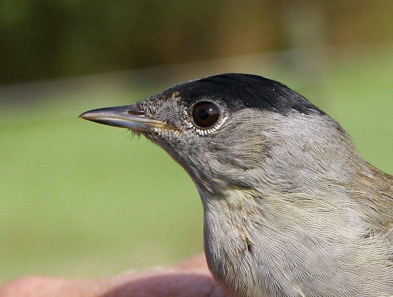 Blackcap (Sylvia atricapilla), 2K male