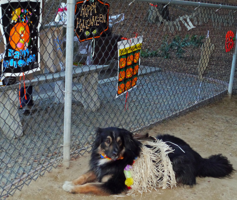 Halloween costume dogs_hula shep.jpg