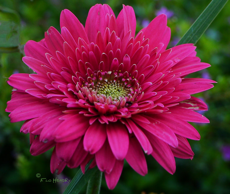Deep Pink Daisy thingamajig Barbs
