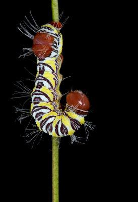Notodontidae - Arizona