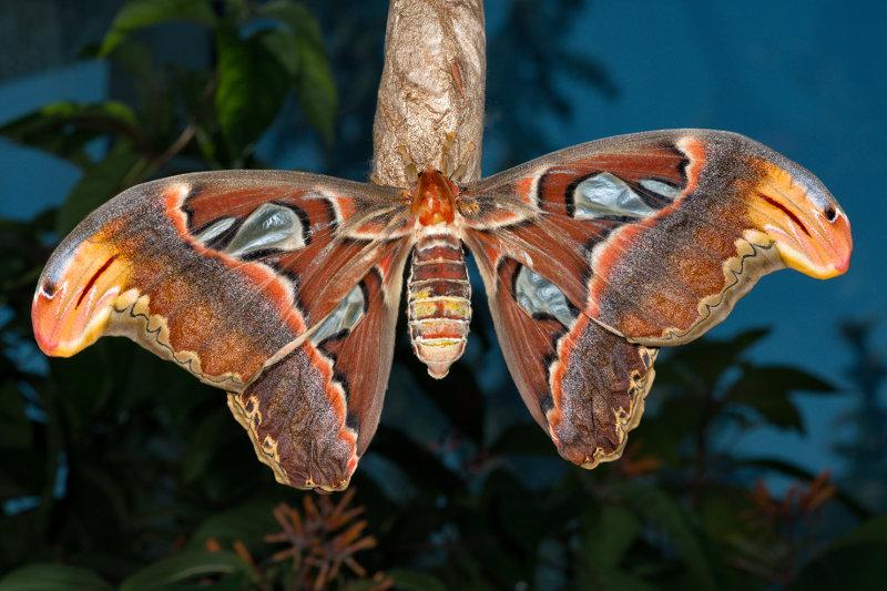 Atlas Moth - Open Wings