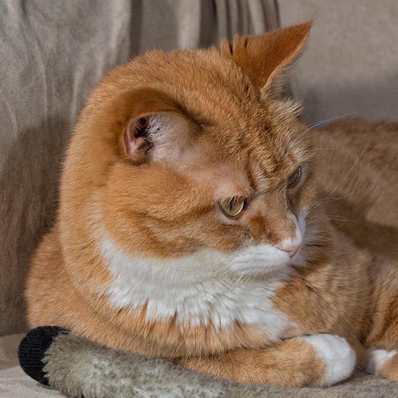 Tiger In Profile