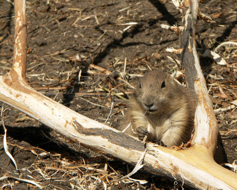 The Prarie Dog