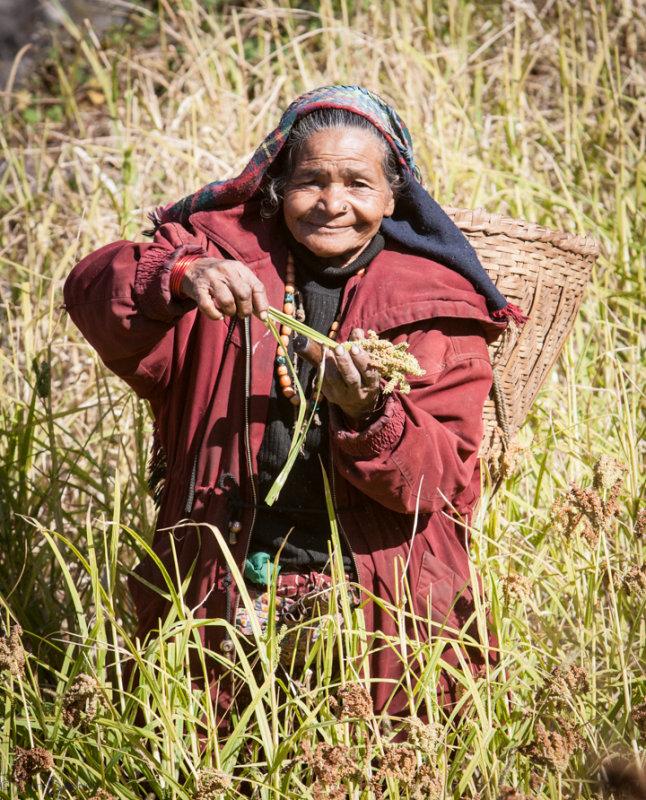 Millet Harvest