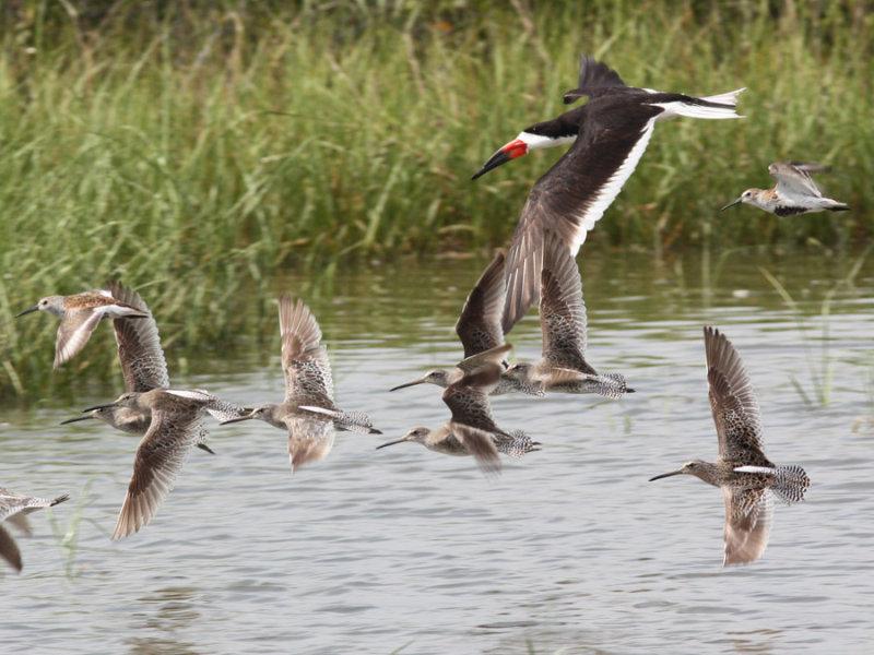 shorebirds.flight.jpeg