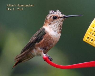 Allens Hummingbird, 12/31/11