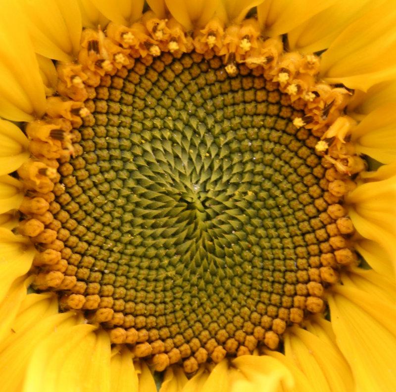 sunflower pattern.