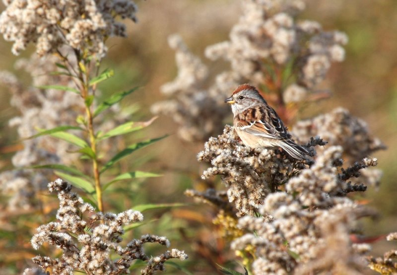 American Tree Sparrow 3522