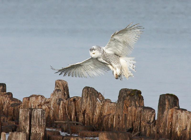 Snowy Owl 1872