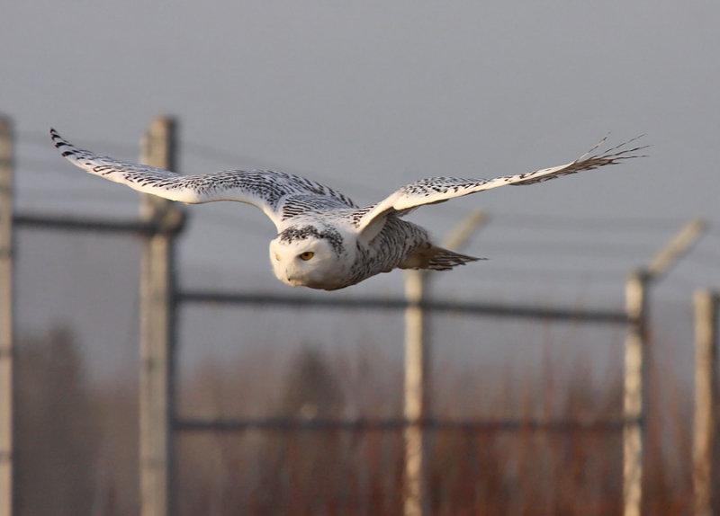 Snowy Owl 2332