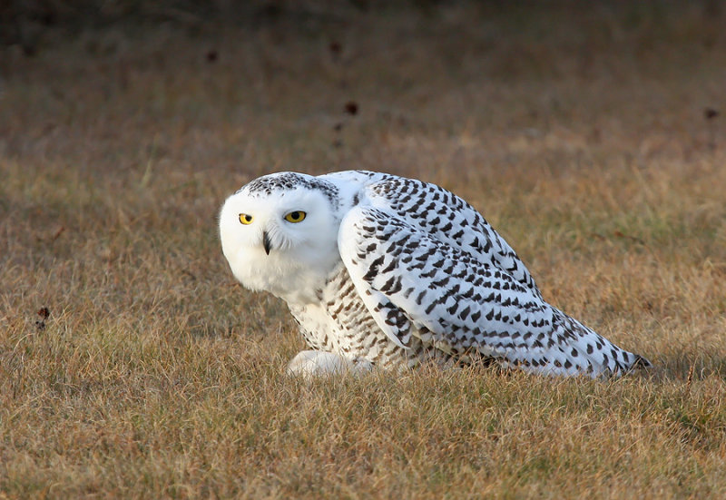 Snowy Owl 2358