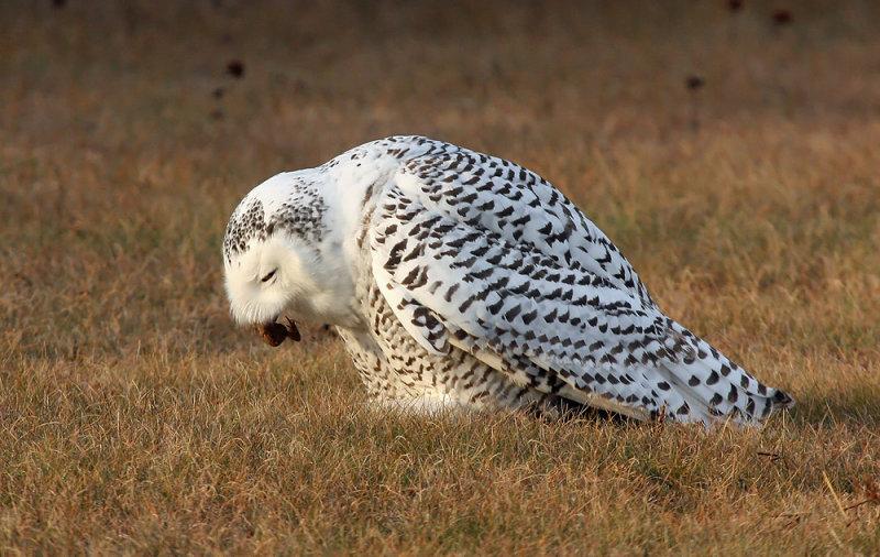 Snowy Owl 2400