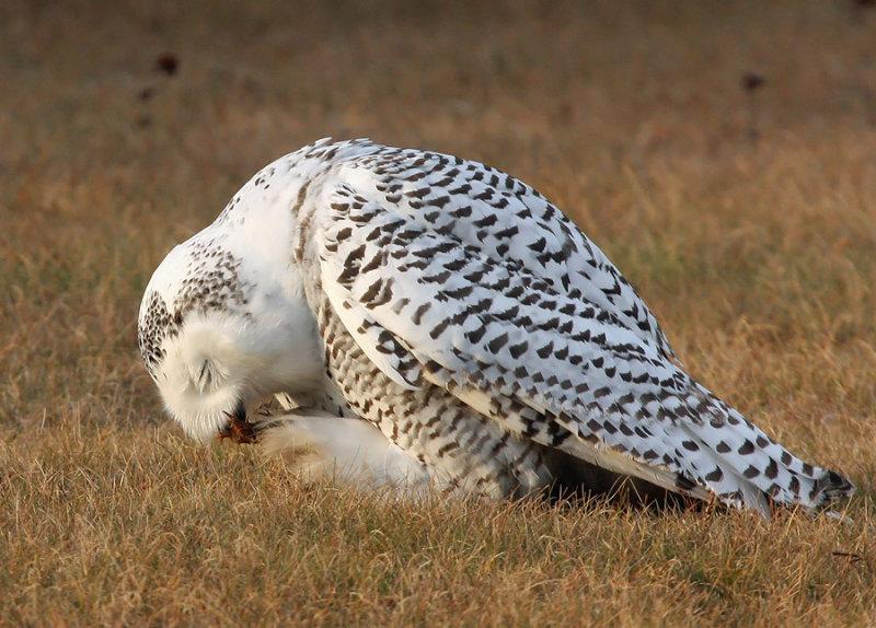 Snowy Owl 2404
